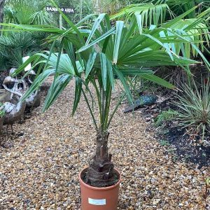 Trachycarpus Fortunei 3FT Single Stemmed
