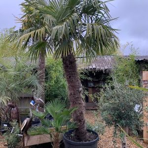 Trachycarpus Fortunei 8FT Palm Tree